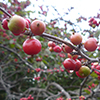 Red berries - before the first hard frost